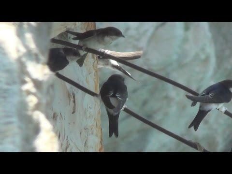 El avión común Delichon urbicum ave migratoria de la familia de las golondrinas