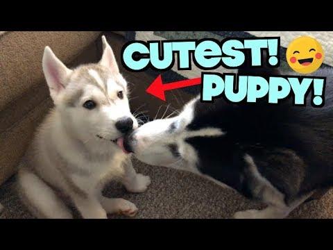 newborn-husky-puppy-kisses-&-wrestles-big-sister-husky!-(britney-spears-as-a-puppy)