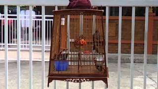 Repeat youtube video นกเวียดนาม ปะทะ นกเหนือ