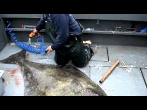 How To Filet: A 300 Pound Alaskan Halibut