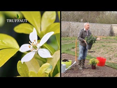 comment planter un oranger du mexique ou choisya ? - jardinerie