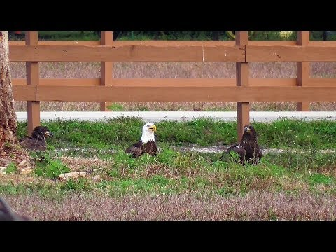 SWFL Eagles_4 Food Deliveries By M - The E's Are Ready~M Warns As 2 Coyotes Pass Through 04-22-18