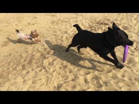 Игры собак на речке=) лабрадор Рич и йорочка Юся)