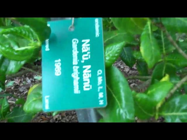 Nau Gardenia