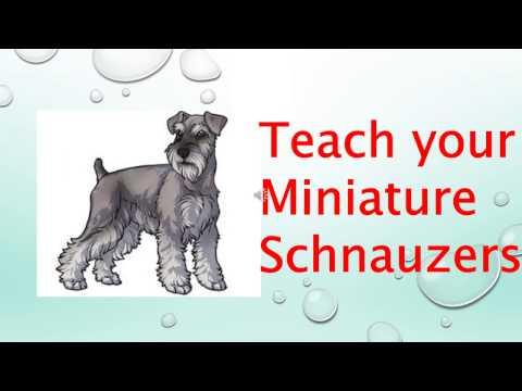 Miniature Schnauzers | How to train a Miniature Schnauzers