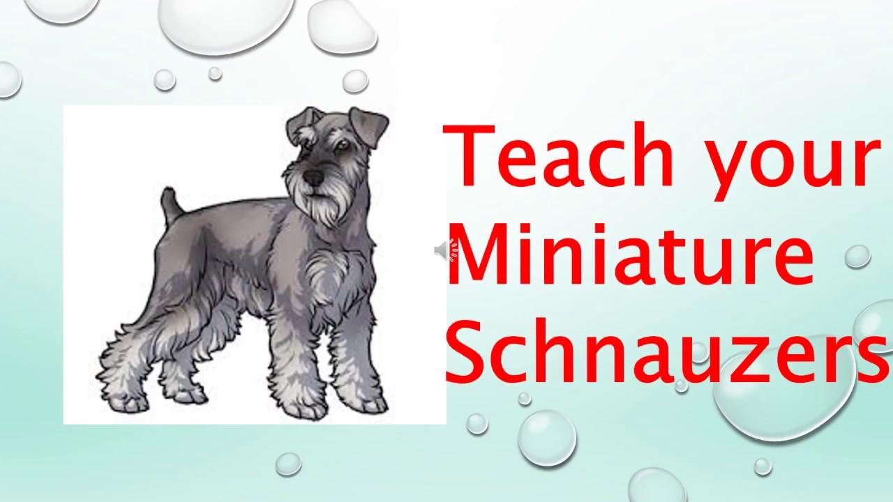 Train a miniature schnauzer