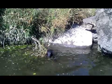 Coco covalagua en el río