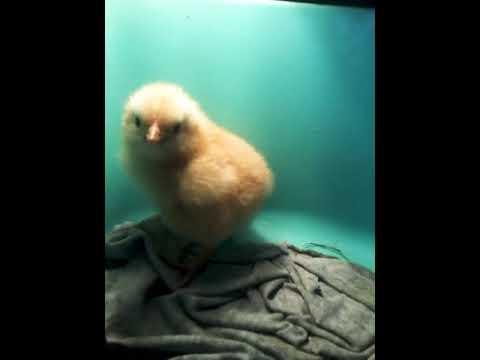 Родился цыплёнок!