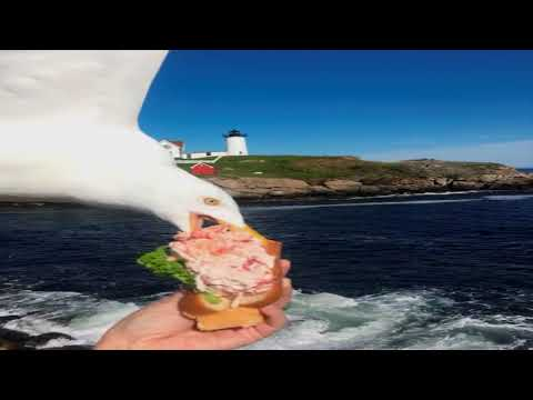 Eric Hunter - Seagull Photo-bombs And Takes Lady's Lobster Roll