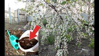 Срочно подкормите этим вишню после или во время цветения! Чем подкормить вишню во время цветения?