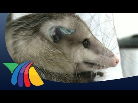 La zarigüeya es un marsupial único en toda América | Noticias de Yucatán
