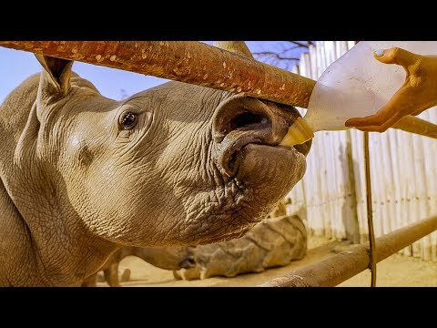 Baby White Rhino Set on the Road for Freedom | BBC Earth
