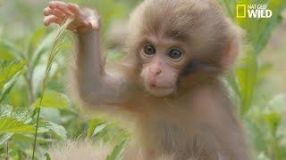 L'éducation des petits macaques japonais