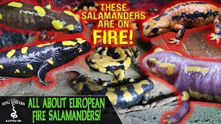 ALL ABOUT EUROPEAN FIRE SALAMANDERS!
