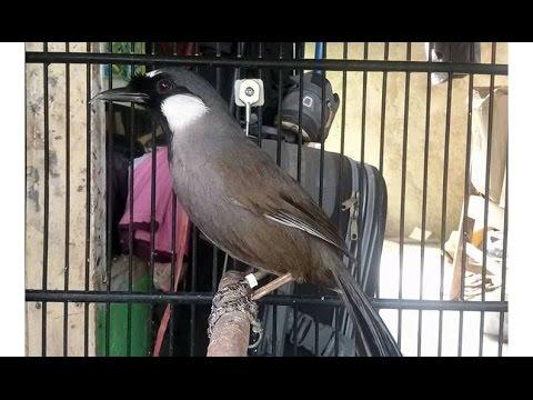 Poksay Gacor - Burung Poksay Mantap (Garrulax Leucolophus 40)