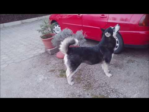 2 howls of Alaskan Malamute