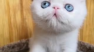 белая кошечка экзот с голубыми глазами - Агуша - 3 мес.
