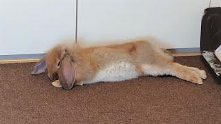 토끼방 새 카페트 깔기