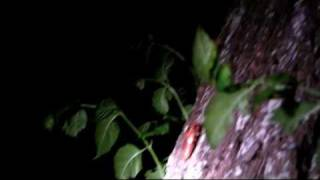 thelope.com - Brood XIX cicada nymphs climb tree, Monticello, AR