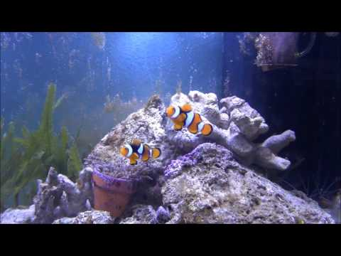 Amphiprion percula, Trauerband-Anemonenfisch