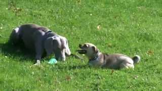Bridie (jug Dog) Wants Sebastians Toy But Too Tired!