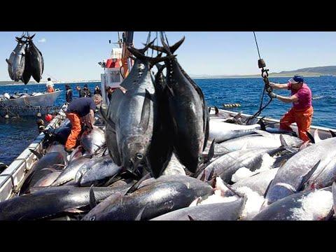 The Most Big Catch Giant Bluefin Tuna,  Net Fishing Tuna, Cutting, Processing  In Factory