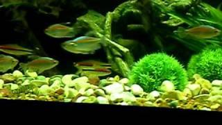Congo Tetras Redline Torpedo Barbs Large Fish Tank