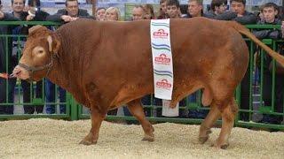 видео Сычевская порода коров: характеристика, описание