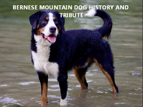 Bernese Mountain Dog History And Tribute