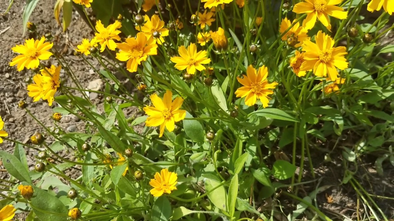 Coreopsis Mouse Ear Yellow Perennial Youtube
