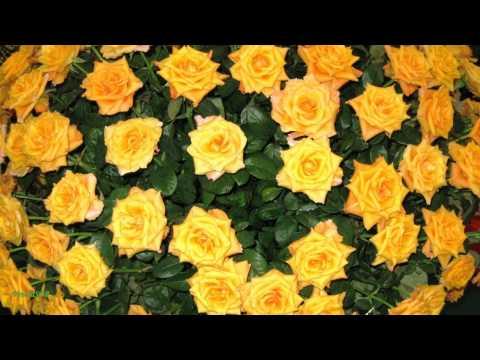 Желтые розы символ жизни, cвета и солнца