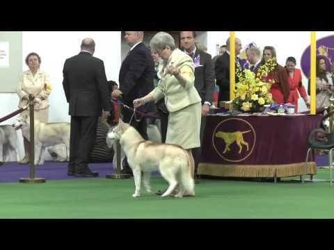 Siberian Huskies Westminster Kennel Club Dog Show 2016
