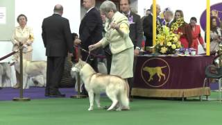 Siberian Huskies Westminster Kennel Club Dog Show 2016