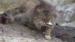 Арамильский рыболовный Кот