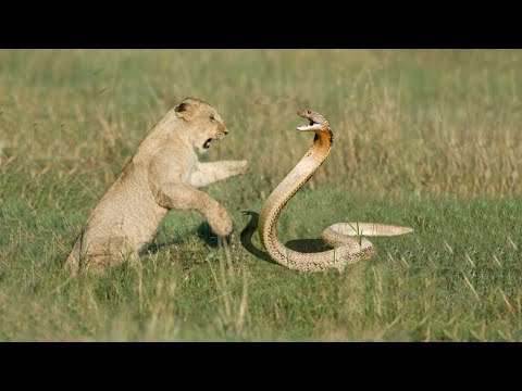 7 Snakes That Can Kill A Lion Easily - When Snake Attacks Lion - Blondi Foks