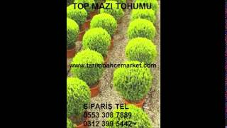 TOP MAZI TOHUMU, top mazı tohumu fiyatı, top mazı tohumu fiyatları, top mazi tohumu, altuni top mazı