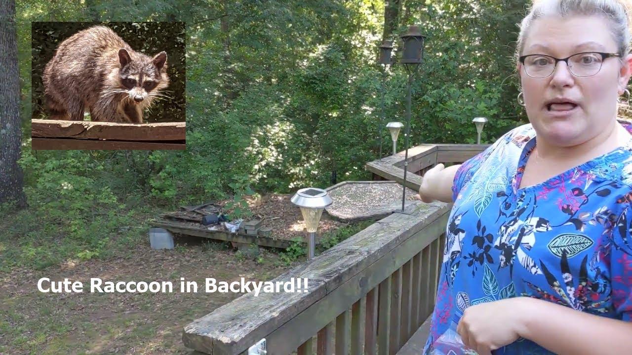 A Cute Raccoon in my Backyard!! - YouTube