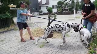 세상에 나쁜 개는 없다 - 통제불가! 진격의 거견(巨犬) 그레이트 데인 호겐_#002
