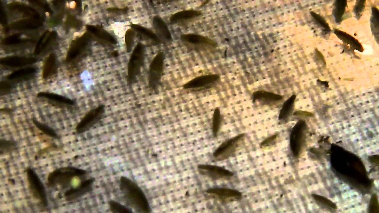 freshwater amphipods lots youtube