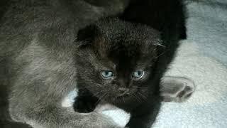 Продам котенка породы Скоттиш-фолд в Костанае