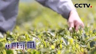 [中国新闻] 各地开采春茶 多重举措抗疫情促增收 | 新冠肺炎疫情报道
