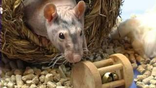 Крыса-сфинкс: голая и теплая . Все О Домашних Животных.