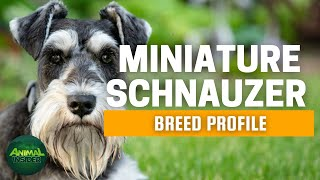 Miniature Schnauzer Dogs 101 | A Living Proof that Big Things Come in Small Packages