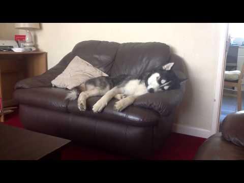 Logan the Siberian Husky - Sleeping Beauty