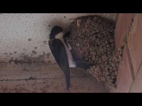 En el nido de los aviones comunes (Delichon Urbicum)