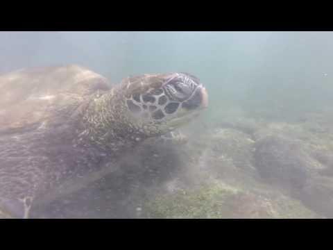 Galapagos Sharks, Rays and Turtles