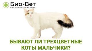 Бывают ли трехцветные коты мальчики Почему трехцветный кот это редкость Ветклиника «Био Вет»