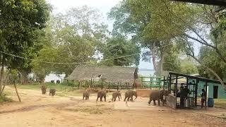 점심시간에 달려오는 귀여운 아기 코끼리 - 스리랑카 아…