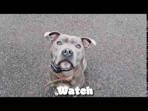 Staffordshire Bull Terrier | Blake | Off Leash K9 Training London