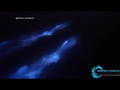 Dolphins swim in bioluminescent waves in Newport Beach